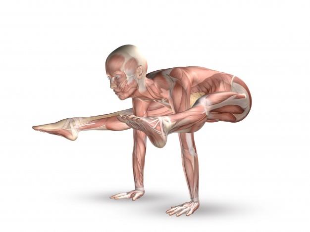 mięśnie-ciała-ludzkiego_1048-2309